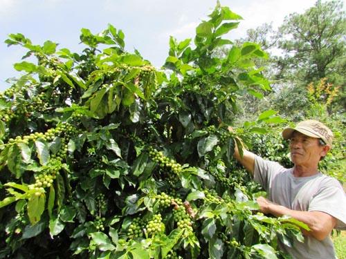 Hướng dẫn cách chăm sóc cà phê đầu mùa mưa