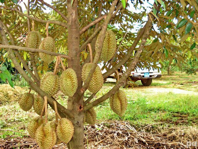 Kết quả hình ảnh cho kỹ thuật trồng sầu riêng